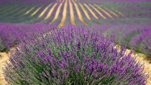 hotels onderweg provence: lavendel velden